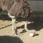 2017 14 3 страусиная ферма 150x150 - Страусы к Пасхе не готовы