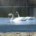 17 подв 2 150x150 - Лебеди облюбовали пруды в Оренбуржье