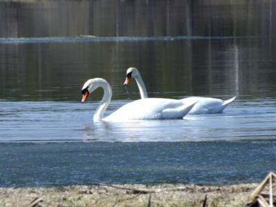17 подв 2 - Лебеди облюбовали пруды в Оренбуржье