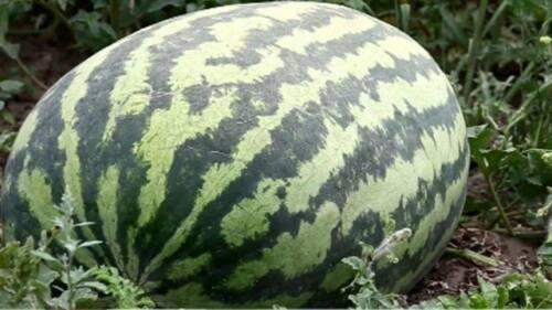 17 п - Арбуз-гигант готовится агробаттлу