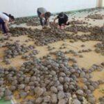 7 черепахи 1 150x150 - Черепах спасли студенты