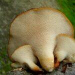 Polyporus tuberaster 03 150x150 - За какие грибы будут штрафовать?