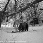 7 подв 1 150x150 - От зимней спячки проснулись медведи