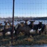 5 п 150x150 - На ферме разводят… оленей