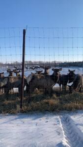 5 п - На ферме разводят… оленей